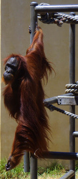 Orangutans need rainforests.